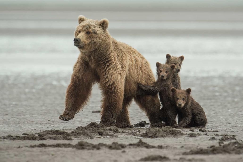 подробнее разобраться детеныши белого и бурого медведя фото про виды симптомы